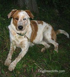 Blue, the Texas Heeler (Australian Cattle Dog / Australian Shepherd Dog hybrid)