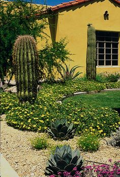 .Xeriscape Landscaping with Style in the Arizona Desert. Plants included in this landscape: Saguaro, Carnegiea gigantea Octopus Agave, Agave vilmoriniana Lantana, Lantana hybrid Parry's Agave, Agave parryi Rocky Mountain Ice Plant Sandpaper Verbena Linda Enger Photography