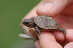 Wanttt So Cutee Turtles That Stay Small Small Turtles Tiny Turtle