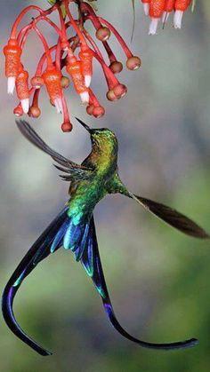 Some kind of hummingbird