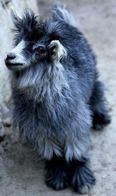 Ladakh  Zanskar Goat
