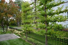 Espaliered katsura trees provide a lot of screening without taking up much space; maintained as a solid green wall.