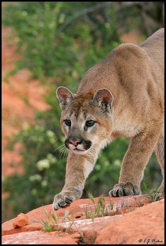 Cougars. I feel such a connection to them....