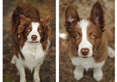 Brown and White Border Collie before and after