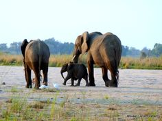 Elephants in Zambia