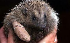 Horace the Hedgehog.
