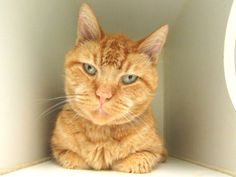AMARETTI - A1117356 - - Manhattan  *** TO BE DESTROYED 07/14/17 ***   A volunteer writes: Looking for a gentle love muffin? Amaretti is a gentle sweet soul looking for a calm household and loving human parent. He really enjoyed some quiet conversation and pets and snuggles. He seems to be a bit on the shy side but I bet would blossom like a spring flower in a new home. With the softest orange coat, little pink nose and those seemingly big sad eyes, I wanted to scoop him up,