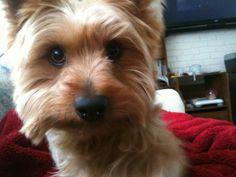 Silky Terrier Bella <3