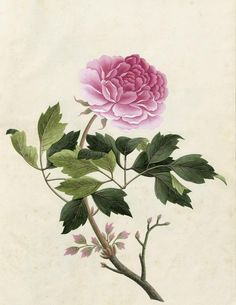 Paeonia from a plants album, 1820. Gouache, Watercolor. Possibly a master template for coloring. Unknown artist. England or France. Via Bassenge