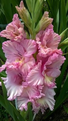 Garden Flowers - Annuals Or Perennials Gladiolas Exotic Flowers, Amazing Flowers, Pink Flowers, Beautiful Flowers, Beautiful Things, Gladiolus Flower, Gladiolus Bulbs, Gerbera, Flower Pictures
