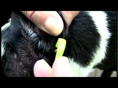 Natural ways to help avoid ticks and fleas, and how to remove ticks from your pet safely