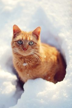 handsome orange tabby in snow