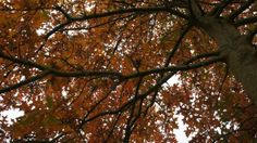 A young Pin Oak's ample canopy in A Garden For All by Kathy Diemer http://agardenforall.com
