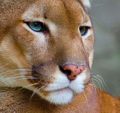 Prachtige close-up van een Poema/Cougar!