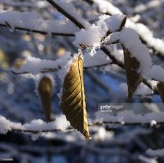 Snow Covered Hornbeam (Carpinus betulus) Sally Smith Getty Images
