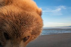 """Robo-camera snaps coastal brown bear on Alaskan beach - life - 20 May 2014 - New Scientist Image description: """"SHE is a massive and well-fed mama bear,"""" says Ingo Arndt, the award-winning German photographer who captured this powerful beast in a moment of curious investigation. Image credit: Ingo Amdt"""