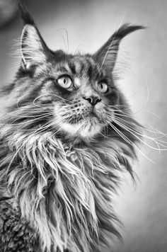 Filou (Maine Coon) by Dominik Pur