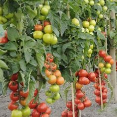 Do you love Mediterranean food? You should be growing these fruits and herbs in your garden!