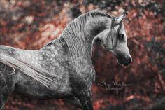 """Polubienia: 2,731, komentarze: 22 – Olesya Nickolaeva (@olesya_nickolaeva) na Instagramie: """"Arabian stallion Pribalt   photo by: Olesya Nickolaeva  photolesya.com ❗© Olesya Nickolaeva -…"""""""