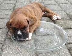 12 Foods you should Never feed your Boxer