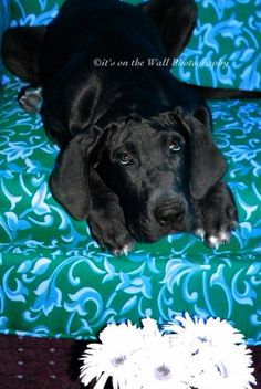 BLACK Great Dane Puppies Absolutely stunning! Dogs and