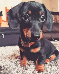 """See our website for even more information on """"dachshund puppies"""". It is an outstanding area to learn more. Funny Dachshund, Dachshund Puppies, Weenie Dogs, Dachshund Love, Cute Puppies, Cute Dogs, Dogs And Puppies, Doggies, Cute Baby Animals"""