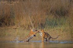 Picaboo...... - Picaboo......  Pandarponi Cubs (Maya cubs) Tadoba, Chandrapur, India.  These cubs are very Playfull specially the female on the left is most notorious among all ....   Canon 1Dx, Canon 500mm + 1.4TC, f/5.6, Iso 800 ..........  Enjoy ....