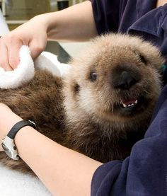 This tiny sea otter baby is celebrating Sea Otter Awareness Week with a big grin on his face!