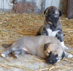 Kangal Dog puppies. Cute Puppies, Dogs And Puppies, Kangal Dog, Anatolian Shepherd, Most Beautiful Animals, Gentle Giant, Big Dogs, Livestock, Animal Pictures