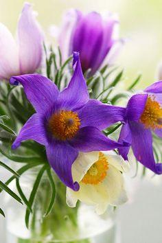 640-Pasque-Flowers-l