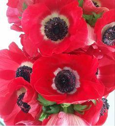 Red Anemone, Anemone Flower, Anemones, Wedding Flower Packages, Red Wedding Flowers, Cream Flowers, Cream Roses, Year Round Flowers, Babys Breath Flowers