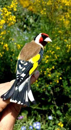 Très élégant  de : Ameur Ounzza Small Birds, Colorful Birds, Pet Birds, Most Beautiful Birds, Animals Beautiful, Kinds Of Birds, Love Birds, World Birds, Bird Artwork