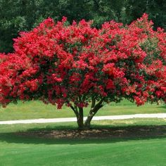 National Plant Network 1 Pack Crepe Myrtle Red Hot Feature tree at Lowe's. Hot red blossoms sizzle against nearly black foliage as Black Diamond® 'Red Hot' lights up the landscape from late spring to fall. Potted Trees, Trees And Shrubs, Flowering Trees, Hydrangea Care, Foundation Planting, Front Yard Landscaping, Landscaping Ideas, Farmhouse Landscaping, Gardens