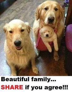 A family of Golden Retriever