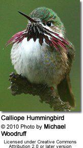 Hummingbirds of South Carolina --   Calliope Hummingbird