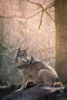 Howls In The Woods — the-smiling-wolf: 😊🐺💖 Beautiful Wolves, Beautiful Dogs, Animals Beautiful, Cute Animals, Wild Animals, Wolf With Blue Eyes, Wolf Eyes, Wolf Spirit, My Spirit Animal