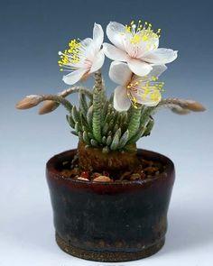 Avonia ALSTONII (Авония) - Интернет-магазин - Адениум дома: от семян до растений. Выращивание и уход.