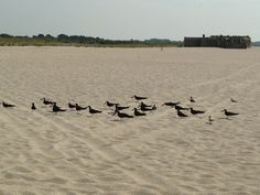 Black Skimmers on Cape May Point.