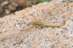 Insects of Arizona-the Arizona Desert Scorpion-Alpha Ecological Pest Control Blog