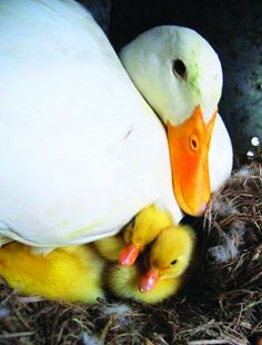 Pekin Ducks pictures - Google Search
