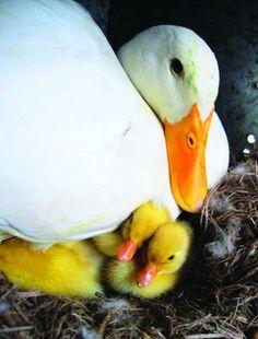 Pekin Ducks pictures - Google Search