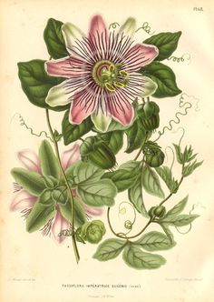 Passifloraceae Herbaceous or woody vines, shrubs, and trees, mostly of warm regions. The largest genus is Passiflora, many of which are highly prized for their showy, unusual flowers.