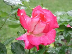 A Rose bud Pink Blossom Flower.