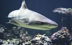 A los Tiburones sí les da Cáncer. http://www.univerxum.com/a-los-tiburones-si-les-da-cancer/