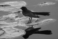 Wagtail Willy   Photo Marj webber