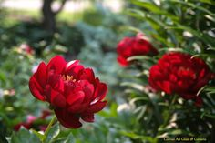 Peony 'Buckeye Belle' doesn't need staking, long-lived, low maintenance perennial for sunny borders