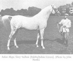 INDIAN MAGIC 1944 grey stallion (Raktha x Indian Crown, by Raseem) Sired 94…