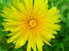 Pauline's Flowers - Dandelion - June 2023