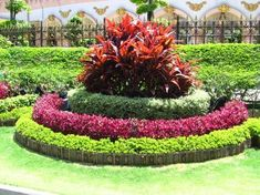 Cordyline surounded by Duranta Var, Jessica Red and Duranta Gold