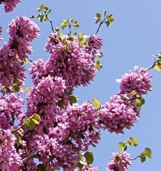 Judas tree  Cercis siliquastrum